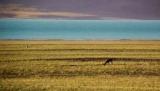 Туристы из Китая получили штраф за продолжение тибетских антилоп